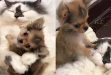 A cat adopted a small dog and treats it as if it were her own baby [VIDEO]