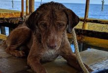 Dog swims over 200 kilometers in the sea before being saved
