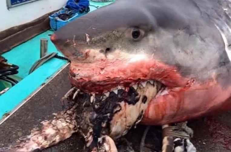 Giant white shark overestimates itself and chokes on sea turtle