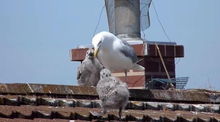 """""""The Birds"""" in real life: couple can't leave home due to aggressive seagulls"""