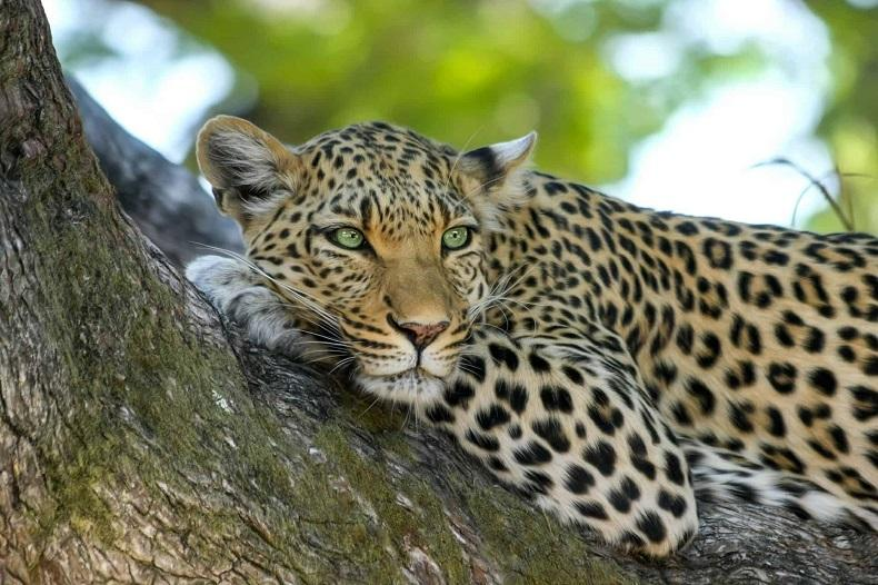 Father of torn child: Courtney hung bleeding between jaws of leopard