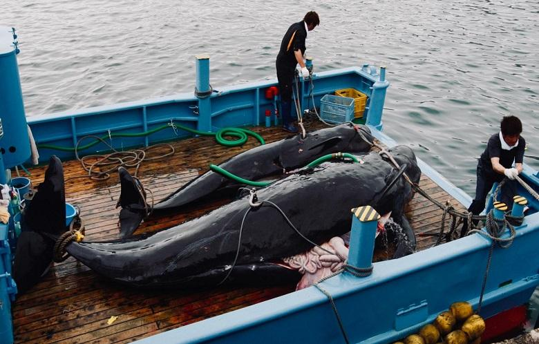 Japanese ships are ready to catch delicacy whales again