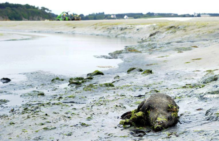 """Toxic algae plague Breton beaches: """"They can kill you in seconds"""""""
