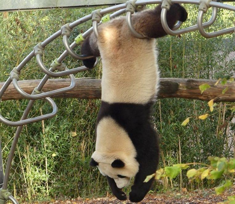 Panda Tian Bao shows acrobatic trick in Pairi Daiza