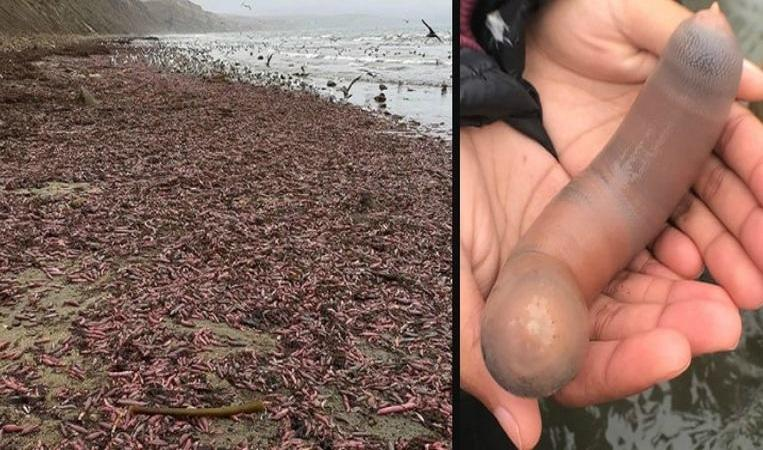 Beach in California flooded with thousands of 'penis fish'