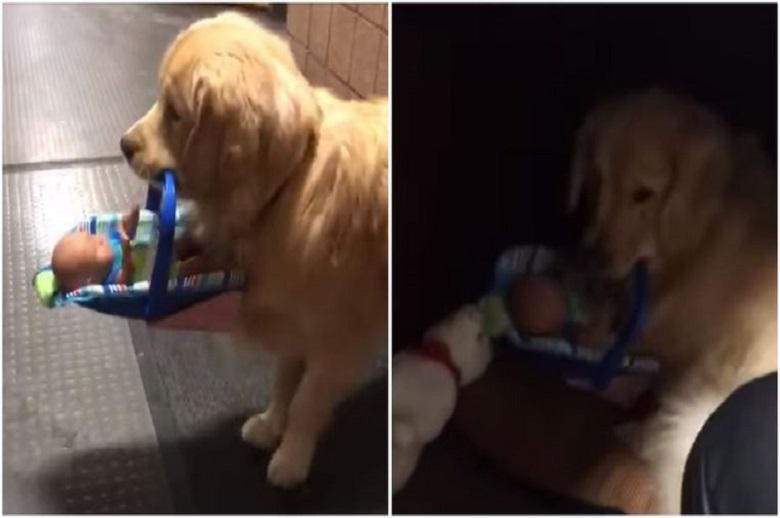 Cute: therapy dog steals toys at the police station