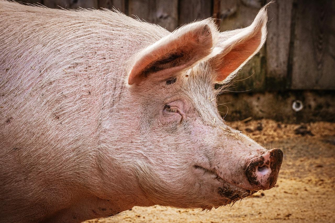Missing Polish farmer probably eaten by his own pigs