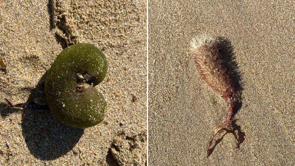 Australian woman finds strange sea creatures on a beach [Photos]