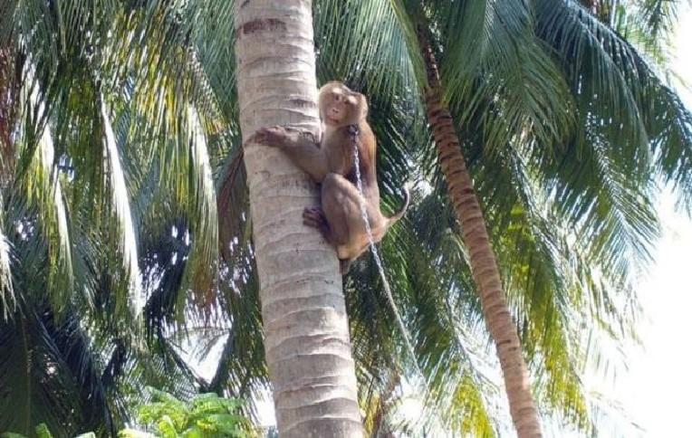 Extreme animal cruelty: Chained monkeys picks almost 1,000 coconuts a day