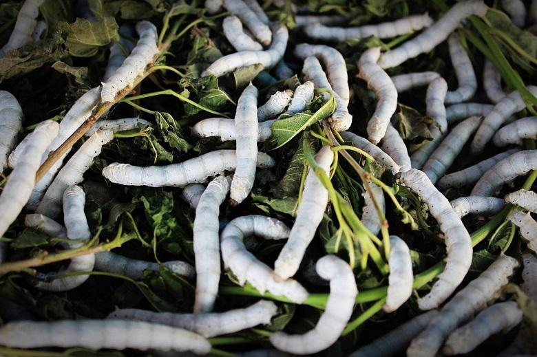 A vaccine against Covid-19 could be developed using silkworms