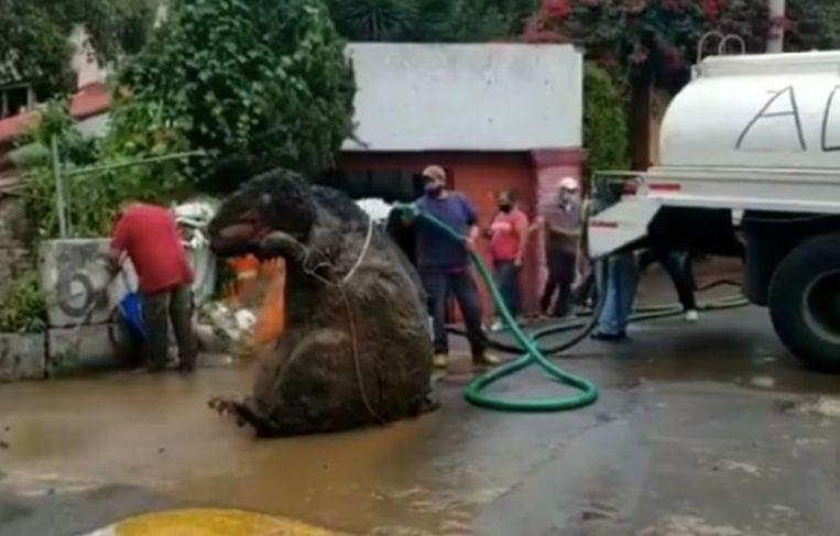 'Giant rat' discovered in Mexico City sewer