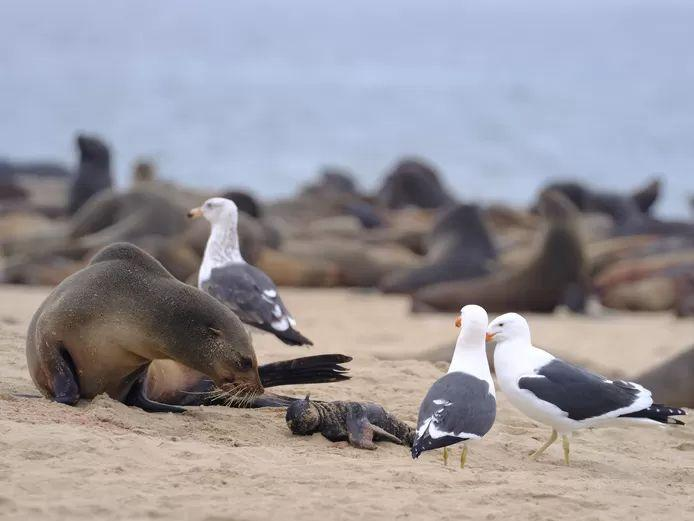 Mysterious seal mortality in Namibia: over 7,000 dead animals already washed up