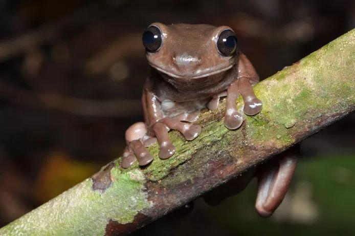 Scientists discover new 'chocolate frog' in swamps of New Guinea