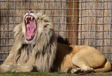 Yawning cools the brain: the longer the yawn, the bigger the brain
