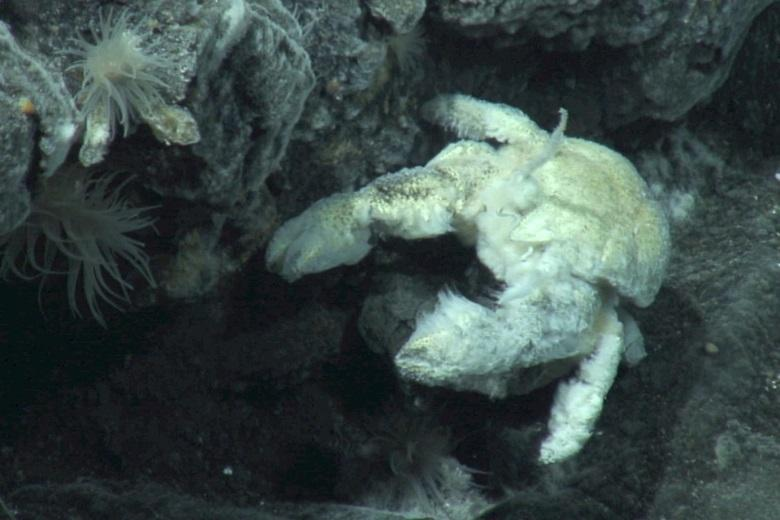University of Southampton – First species of Yeti Crab found and named after renowned British deep-sea biologist