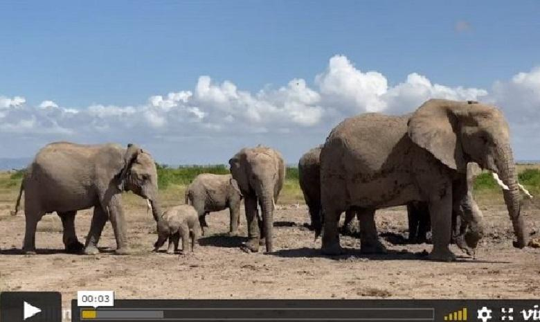 The mother urges the baby elephant all the time and does not want outsiders to interfere with it
