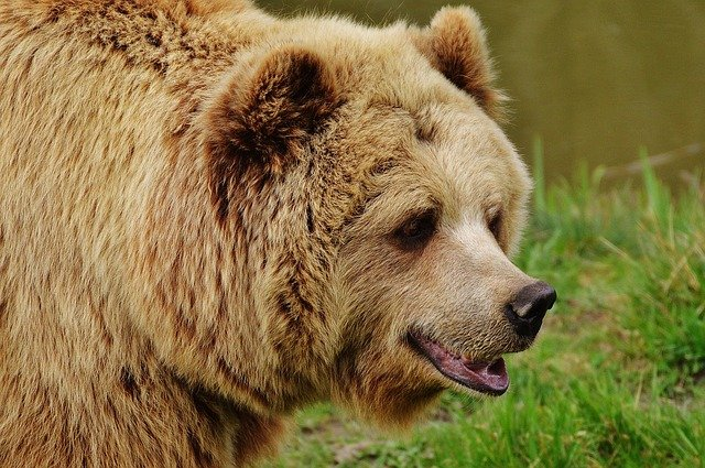 Bears getting food in Luchegorsk (Siberia, Russia)