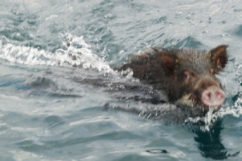 Wild boars that swim to Kakara (Japan)