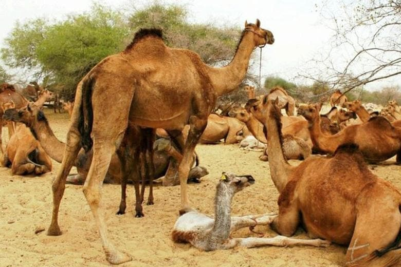 Camels in search of water (Australia)