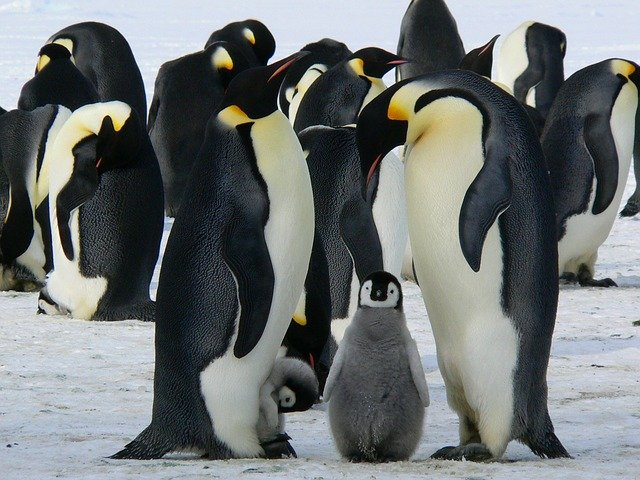 Penguins of the Betty's Bay (South Africa)