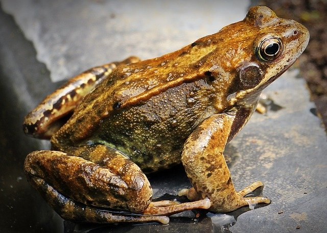 Millions of frogs in Oconto (USA)