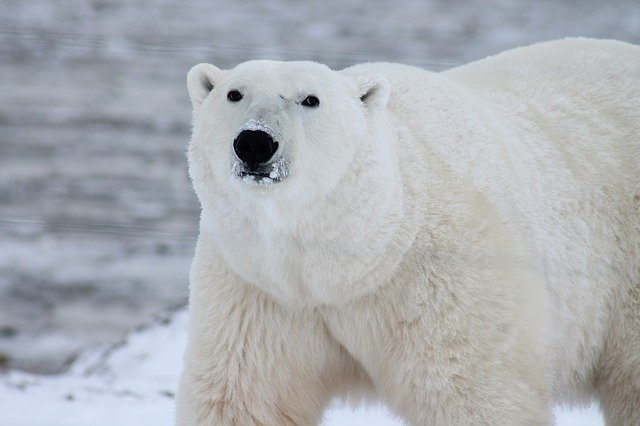 Bears are asking for food in Churchill (Canada)