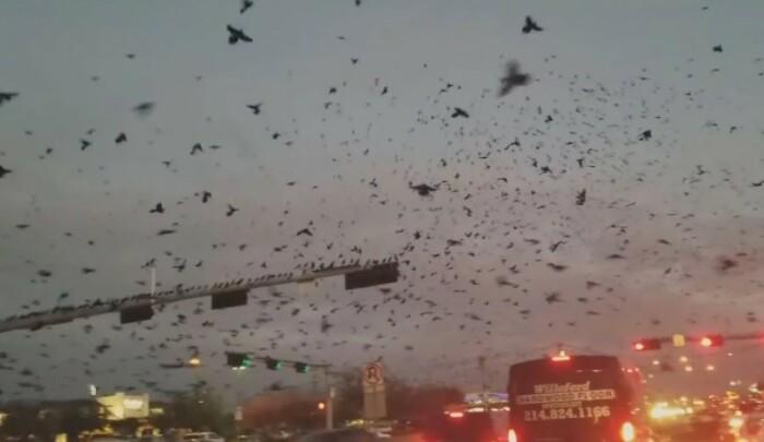 Ravens Trying to Reconquer California (Pennsylvania, USA)