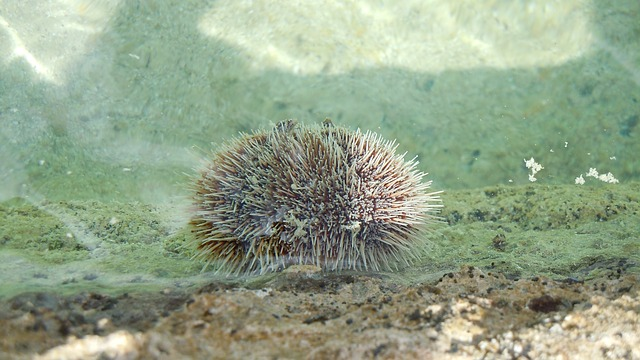 The sea urchin is dangerous to humans:14 interesting facts about sea urchins