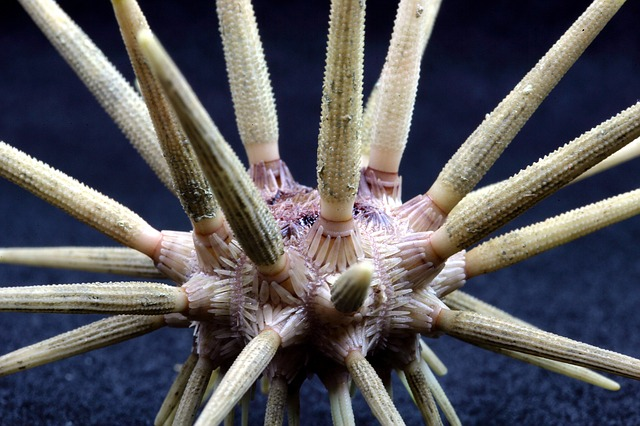 The sea urchin is dangerous to humans.:14 interesting facts about sea urchins